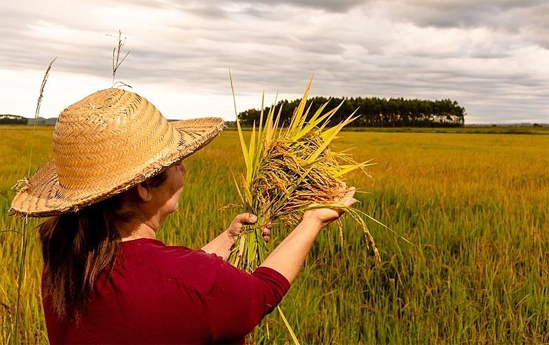 arroz orgânico do MST