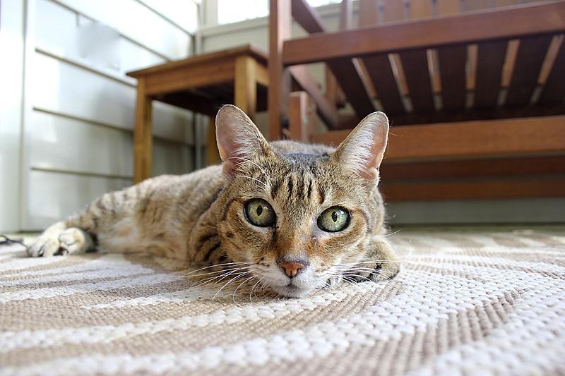 gato no tapete
